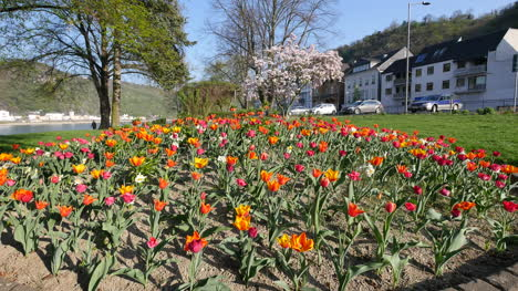 Germany-Tulips-At-Rhine-Town