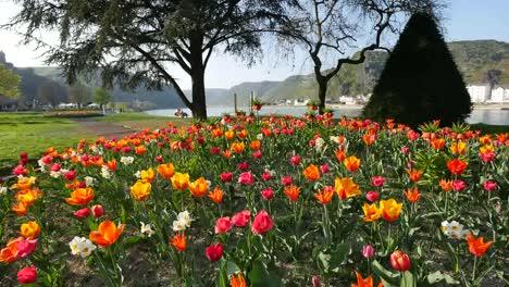 Germany-Tulips-In-Garden-On-Rhine