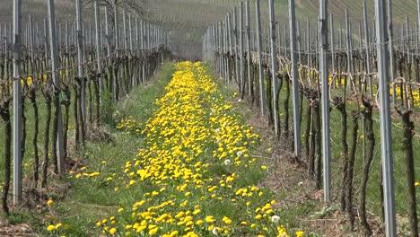 Germany-Wine-Region-Dandelions-In-A-Row