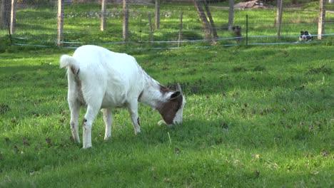 Goat-Eating-Grass