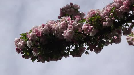 Insects-Fly-Around-Branch-With-Pink-Flowers