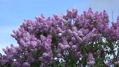 Lilacs-Blooming