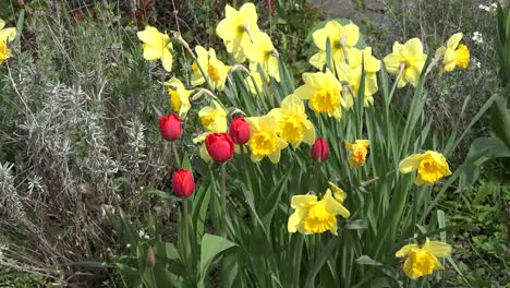 Nature-Daffodils-And-Tulips