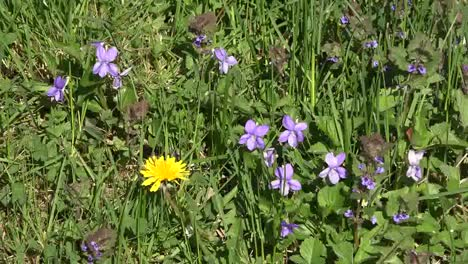 Nature-Dandelion-And-Violets-Zoom-In