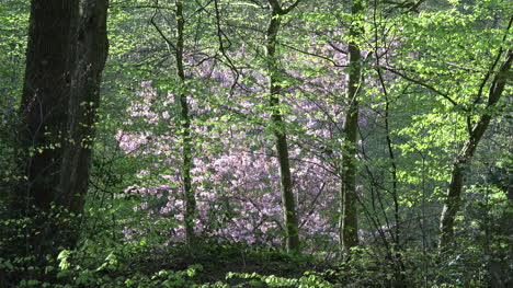 Nature-Pink-Blooms-Zooms-Out-To-Path-In-Spring-Woods