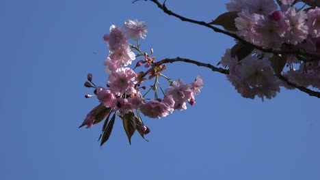 Nature-Pink-Blossoms-Against-Blue-Sky-With-Insects