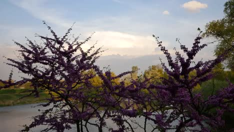 Nature-Redbud-Tree-And-Cloud