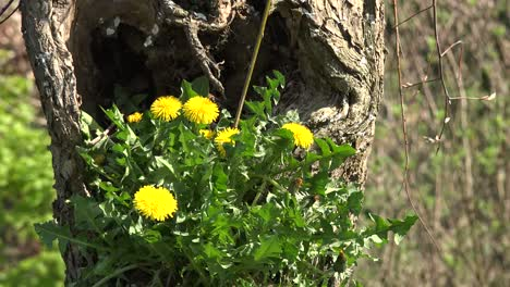 Netherlands-Dandelions-In-Hollow-Tree-With-Insects