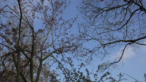 Netherlands-Spring-Branches-With-Flower-Buds-Zoom-In