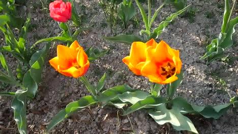 Orange-Tulip-With-Bee