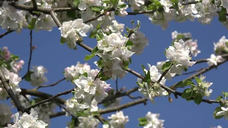Orchard-Blossom-Detail-Zoom-Out