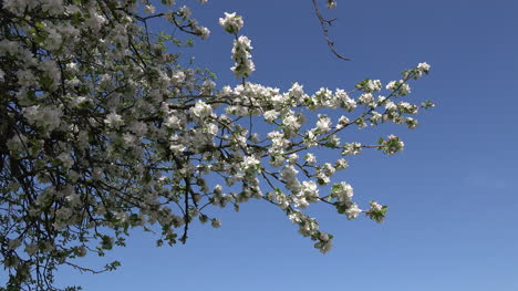 Orchard-Blossoms-And-Blue-Sky