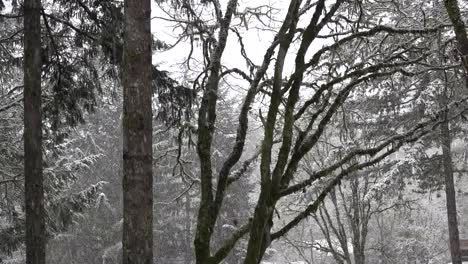 Snow-Falling-In-Winter-Woods