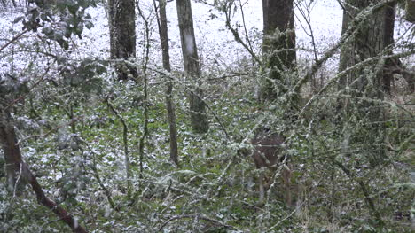 Snow-With-Deer-Disappearing-In-Woods