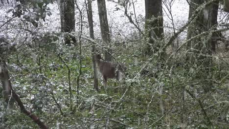 Snow-With-Deer-Walking-In-Woods-Slow-Motion