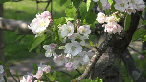 Sunlight-On-Fruit-Tree-Blooms