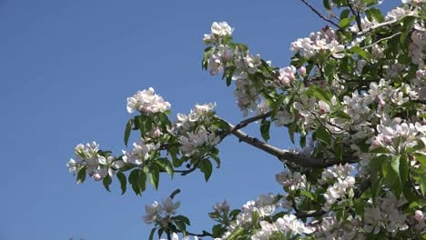 White-Flowers-On-Fruit-Tree-And-Bird