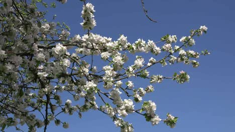 White-Orchard-Blossoms-Zoom-In