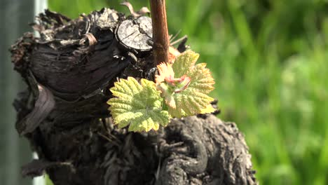 Young-Grape-Leaves-By-Vine-Stalk