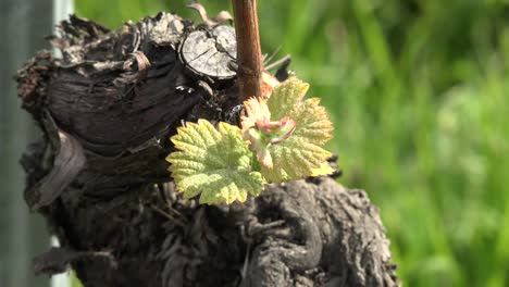 Young-Grape-Vine-Leaves
