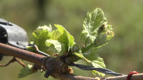 Young-Leaves-On-Grape-Vine