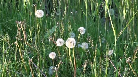 Dandelions-Gone-To-Seed-Zooms-In