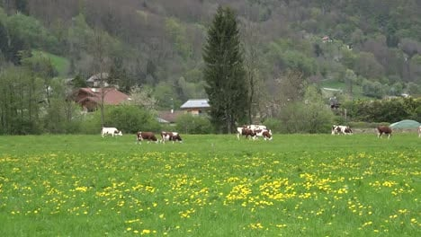 France-Cows-In-Meadow-With-Yellow-Flowers