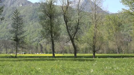 Italy-Alpine-Scene-Pan-Of-Grazing-Cattle