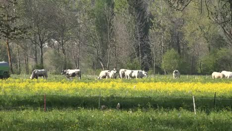 Italy-Cattle-And-Yellow-Flowers-In-Alpine-Valley