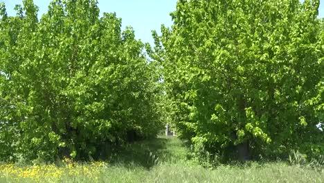 Italy-Coastal-Plain-Zooms-Down-Row-Of-Trees