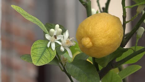 Lemon-And-Flower-With-Bee