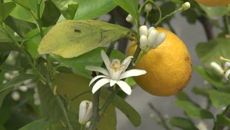 Lemon-And-Flower-With-Bug-On-Leaf