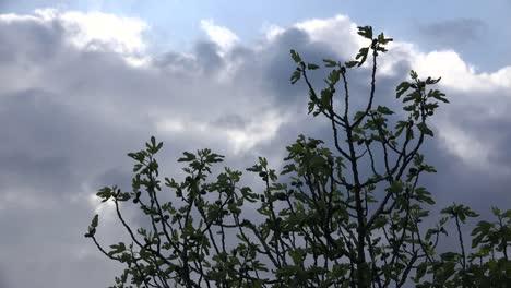Spring-Clouds-Behind-Fig-Tree-Leaves