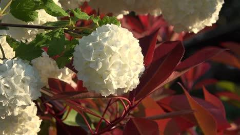 Flor-blanca-en-forma-de-bola-con-hojas-rojas
