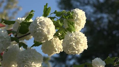 Flores-blancas-en-forma-de-bola-en-arbusto