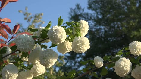 Flores-en-forma-de-bola-blanca-se-acerca