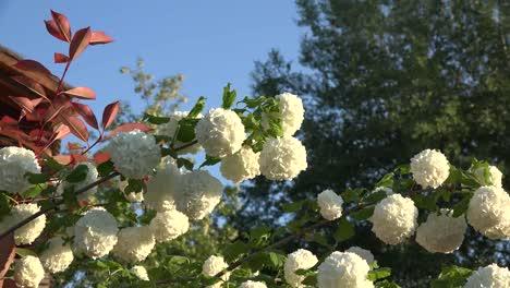 Flores-blancas-se-aleja