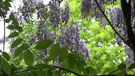 Wisteria-Flowers-Zoom-Out