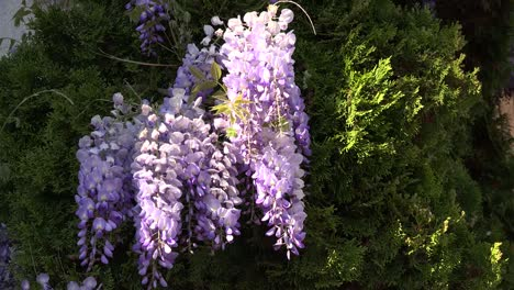 Wisteria-With-Large-Bee