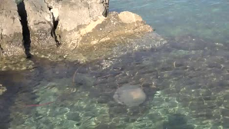 Jellyfish-In-Clear-Water