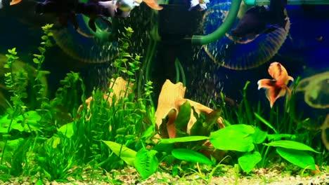 Schönes-Aquarium-Mit-Goldfischen