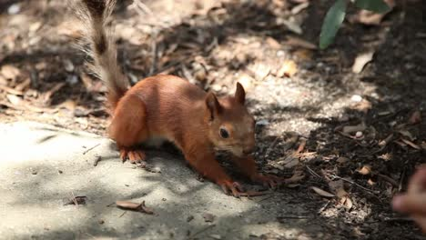 Ambitious-Forest-Squirrel-Takes-Food-Out-Of-The-Hands-Of-Man-Girl-Feeding-Sq