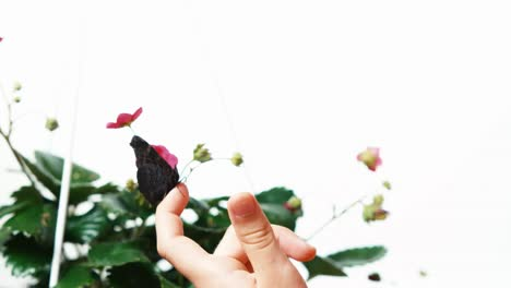 Butterfly-Sitting-On-The-Finger-Of-Child-Close-Up-Shot-Isolated-On-White