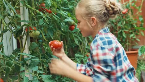 Cheerful-Child-Harvesting-Tomatoes-And-Puts-To-Wicker-Basket-In-Kitchen-Garden