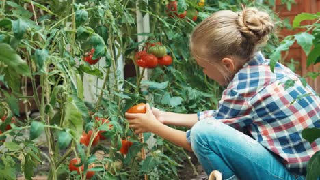 Cheerful-Child-Harvesting-Tomatoes-In-The-Kitchen-Garden
