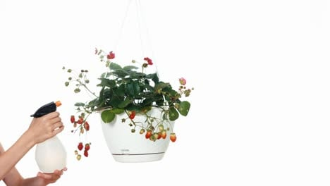 Cheerful-Gardener-Sprinkling-Strawberry-In-Hanging-Pot