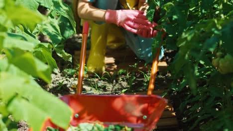 Child-Girl-8-Age-Weeding-Vegetable-Plants-In-Kitchen-Garden