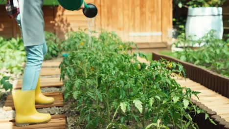 Child-Is-Watering-Tomato-In-Garden