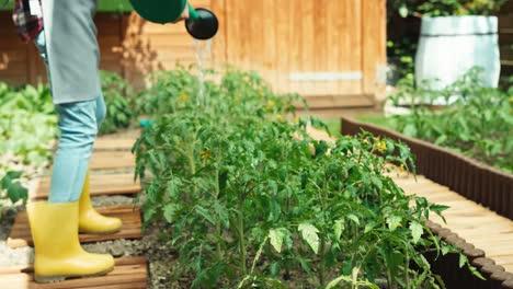 Niño-Está-Regando-Tomate-En-El-Jardín