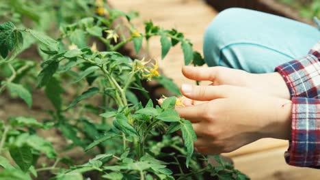Kind-Das-Blumen-Von-Tomaten-Anschaut-und-Aus-Nächster-Nähe-Lächelt